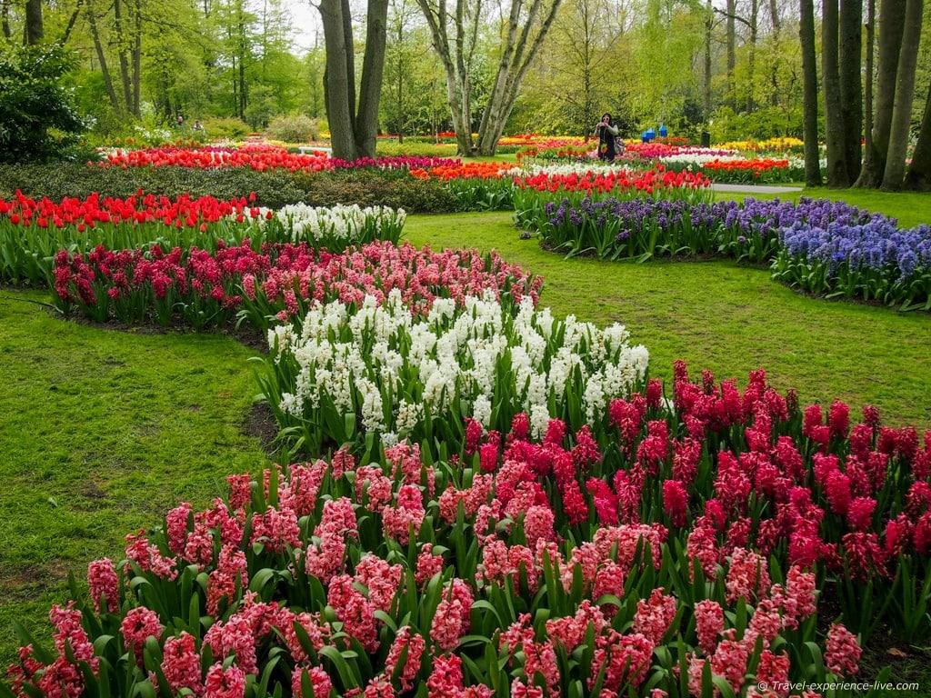 Hyacinths in Keukenhof.