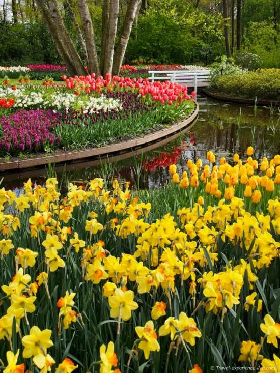Tulips and daffodils in Keukenhof, the Netherlands.