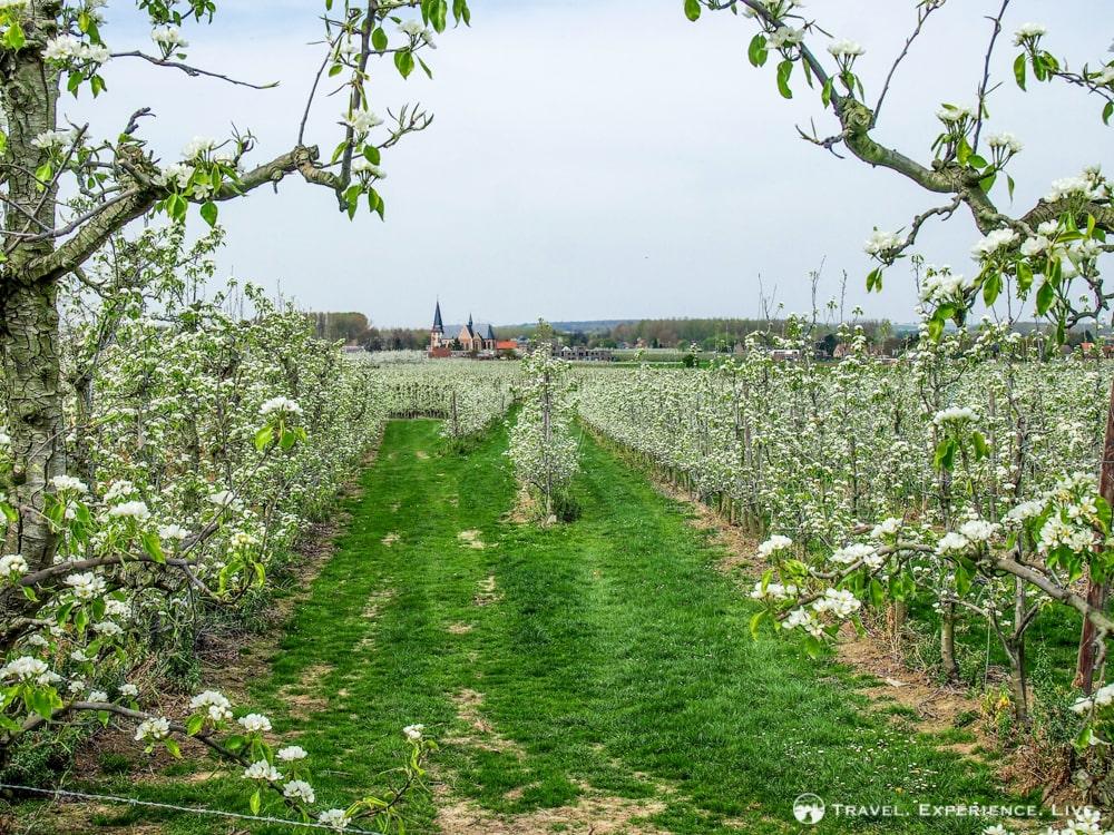 Essential Activities to do in Belgium: Blossoms in Haspengouw