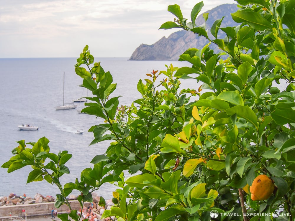 Lemon tree in Cinque Terre, Italy