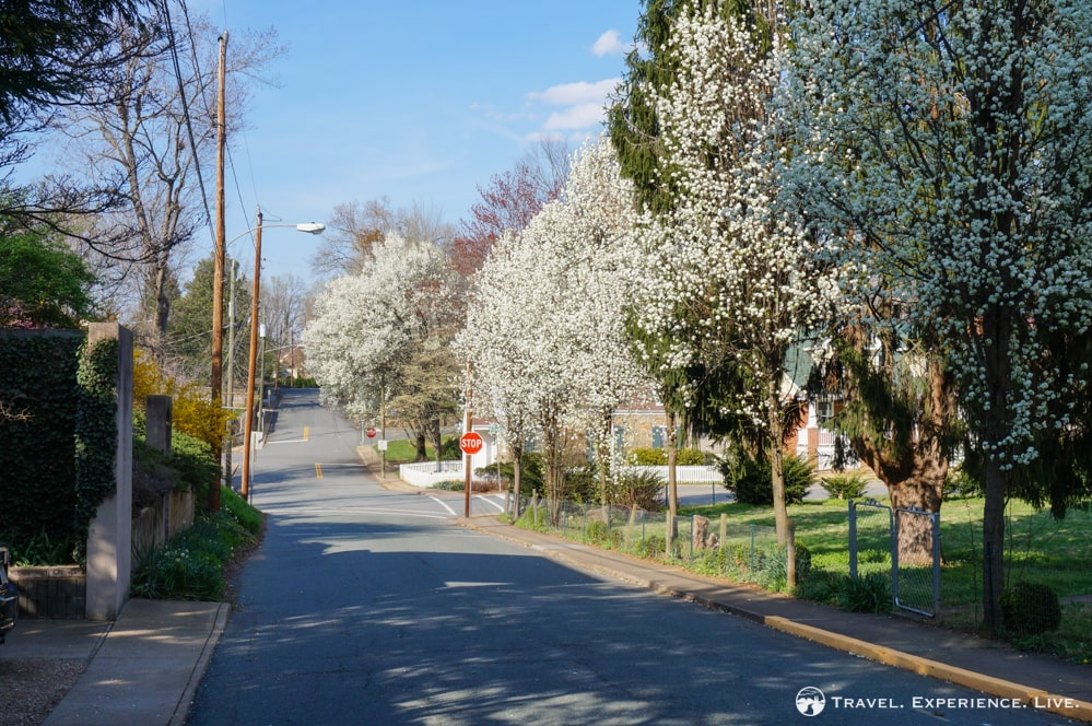 Snapshots of Charlottesville: Blossoming trees, Charlottesville