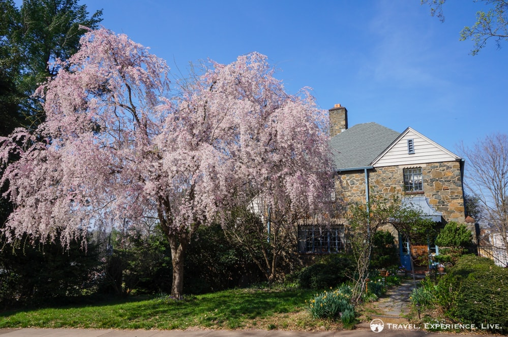Spring blossoms in Charlottesville, Virginia