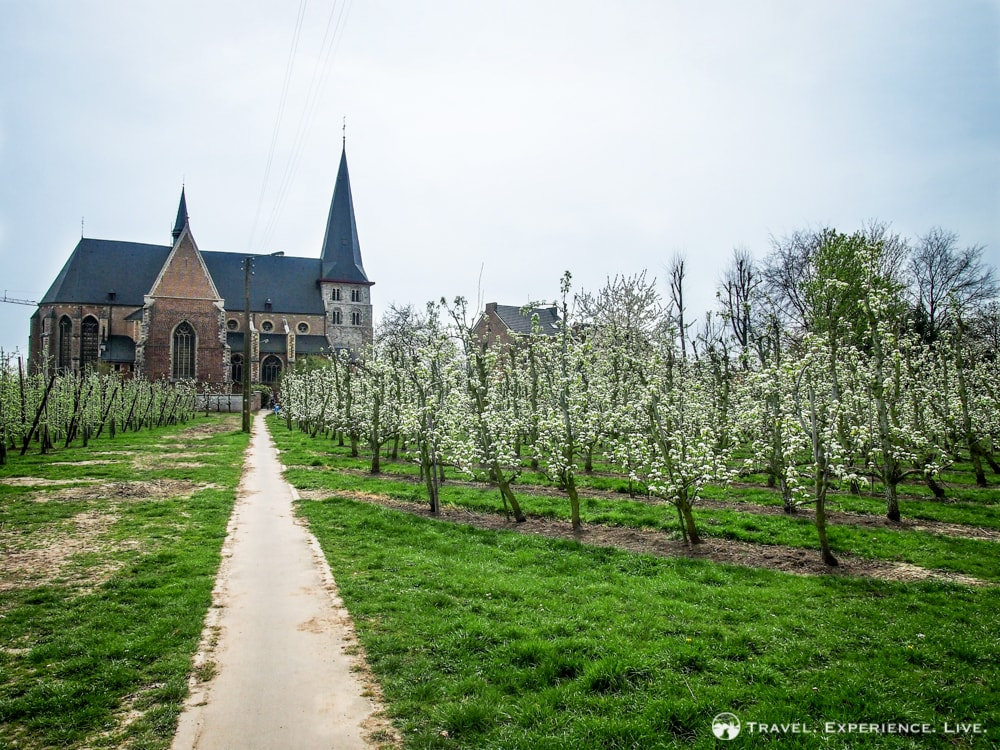 Village church and fruit trees, Haspengouw