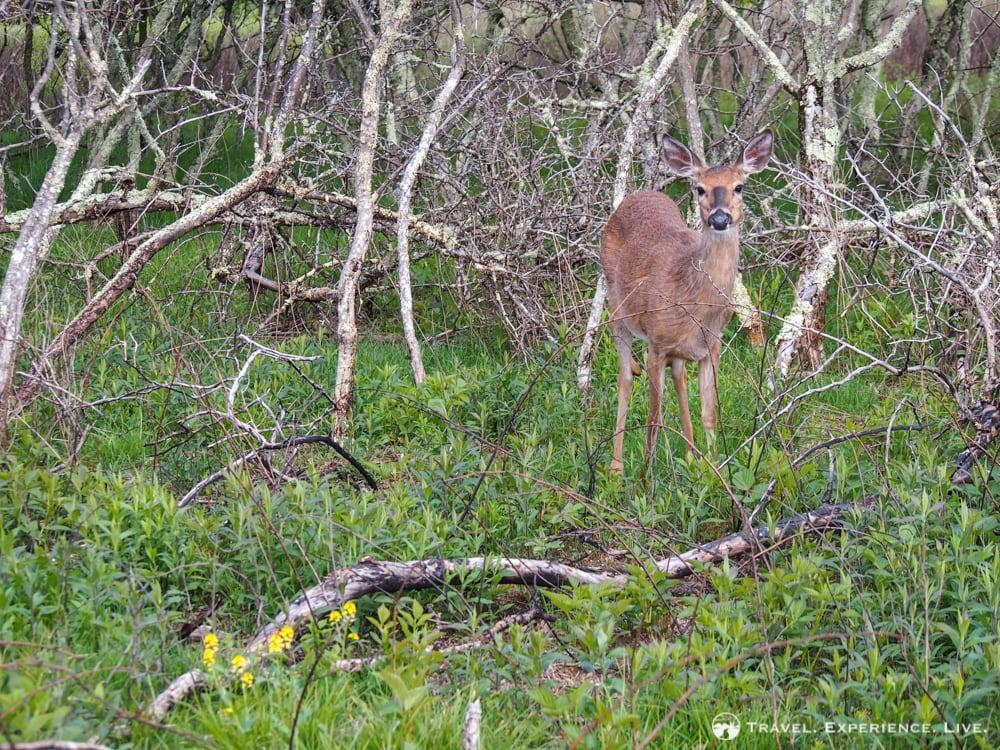 Deer, Big Meadows, Shenandoah National Park