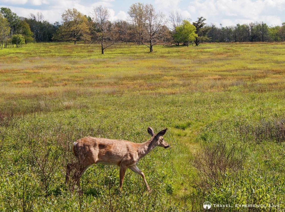 Deer at Big Meadows, Shenandoah National Park