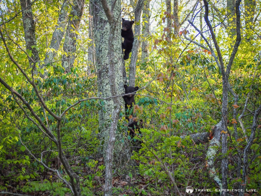 Bear cubs climbing a tree, Shenandoah National Park