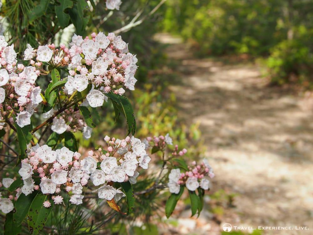 Mountain laurel, Shenandoah National Park