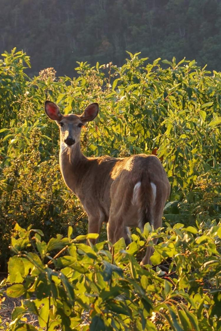 White-tailed deer in Shenandoah National Park, Virginia