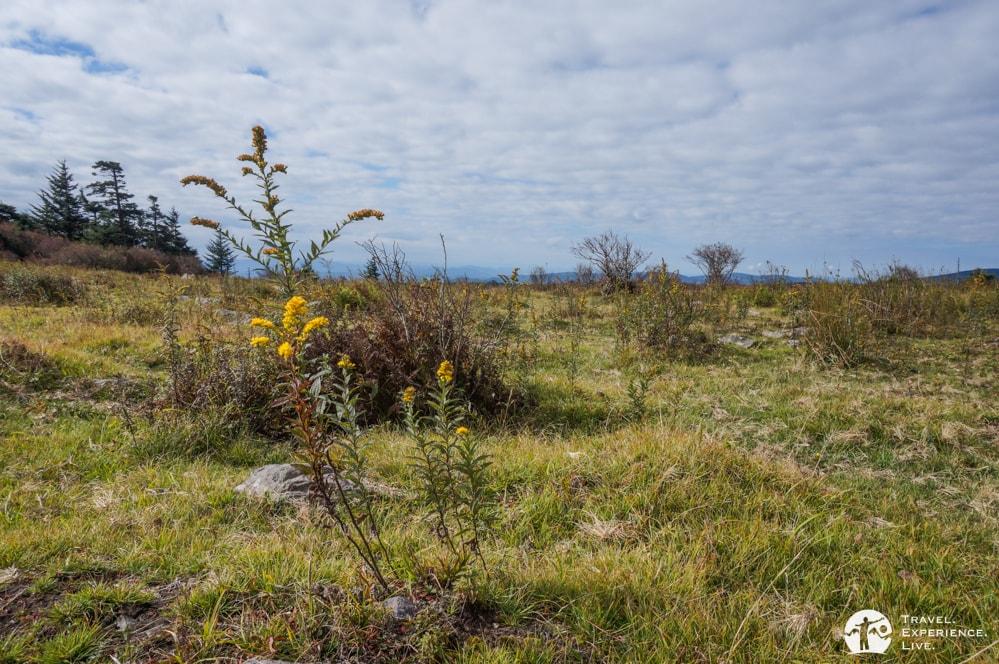 Goldenrod in Grayson Highlands