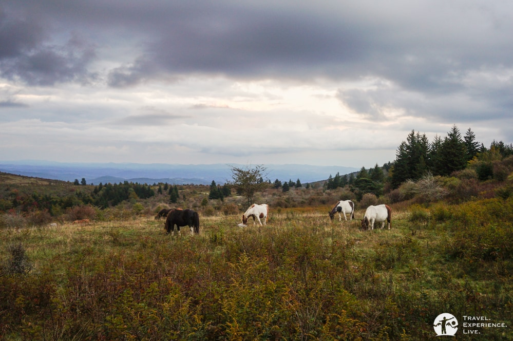 Grazing ponies at dusk, Grayson Highlands