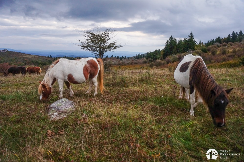 Grazing ponies in Virginia's Grayson Highlands