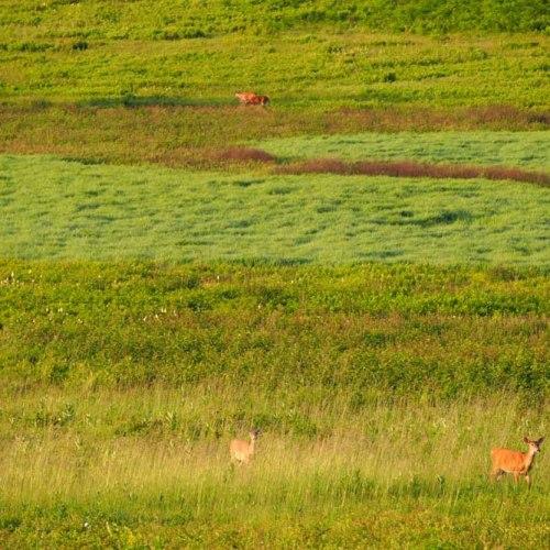 Deer in Big Meadows
