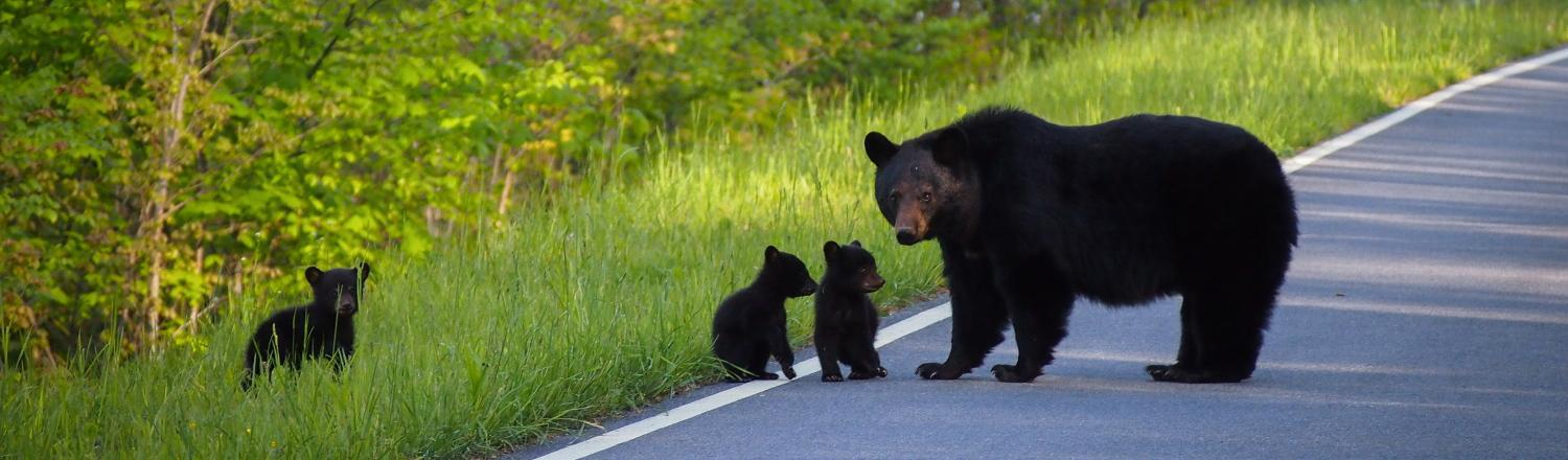 Mother bear and her cubs, Shenandoah National Park