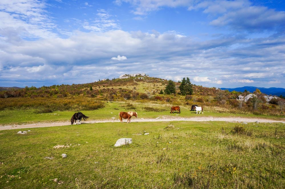 Feral ponies, Grayson Highlands State Park