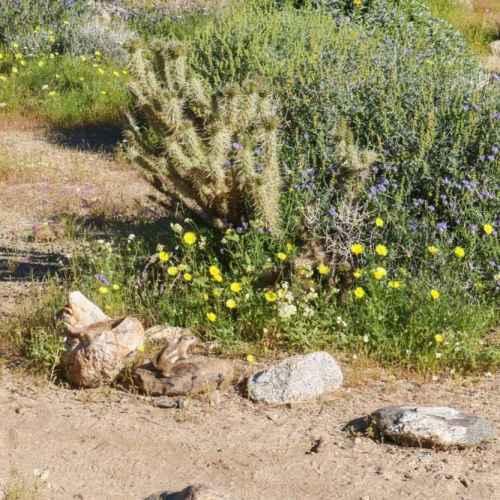 Antelope squirrel in Anza-Borrego Desert State Park