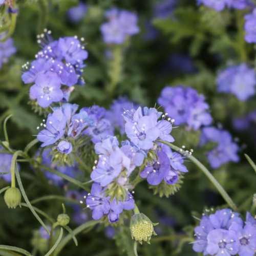 Blue wildflowers close-up, Anza-Borrego Desert