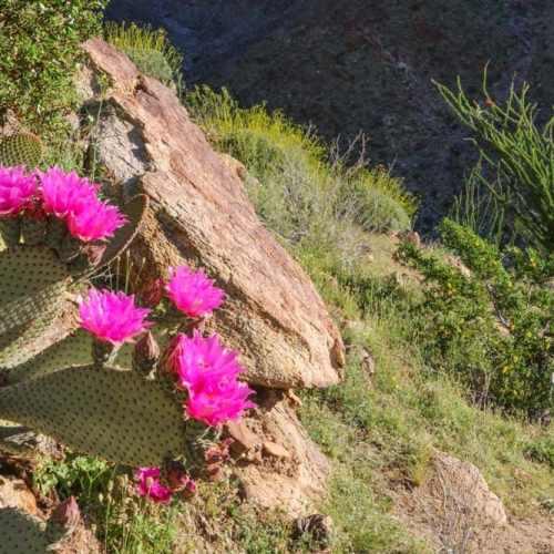 Cactus flowers in the Anza-Borrego Desert, California