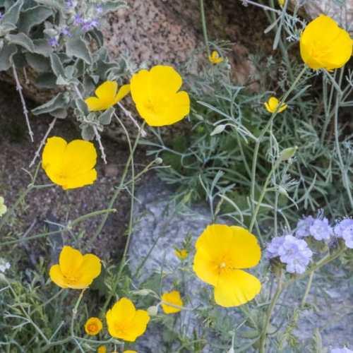 Golden poppies in the Anza-Borrego Desert