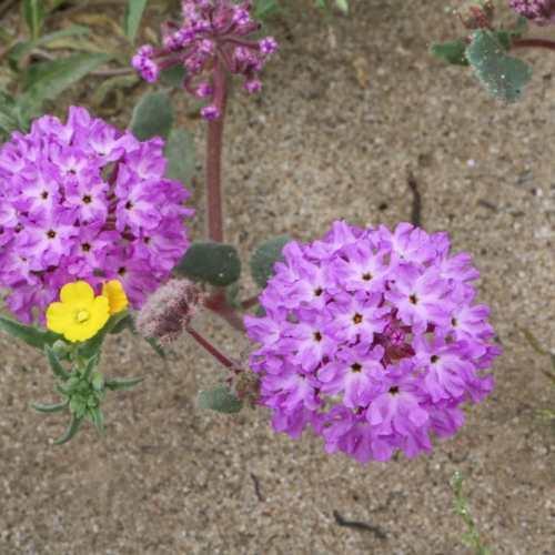 Purple wildflowers in the Anza-Borrego Desert