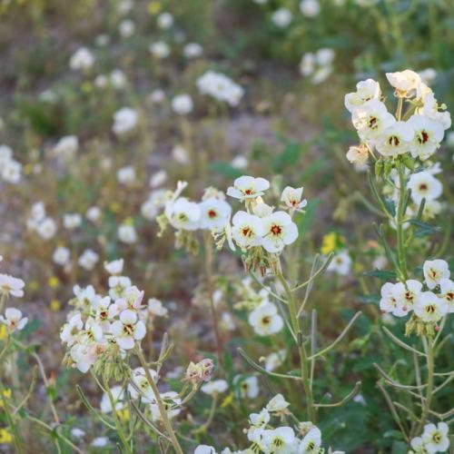 White wildflowers in the Anza-Borrego Desert