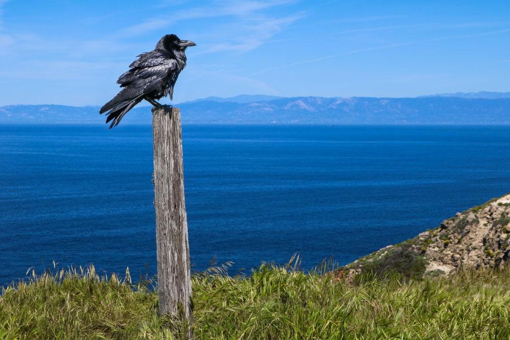 Raven, Channel Islands National Park, California