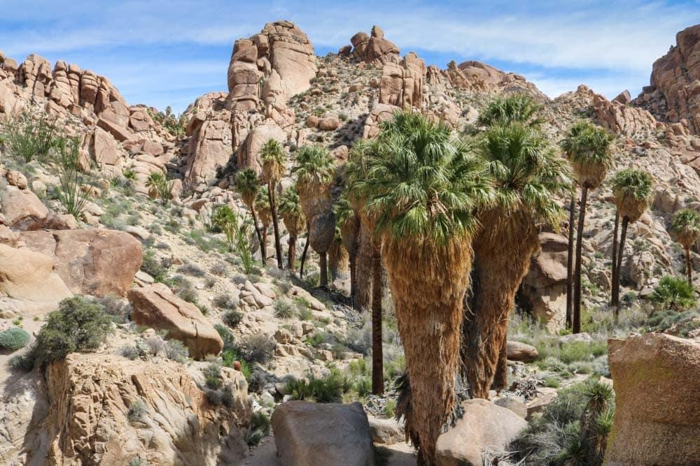 Lost Palms Oasis, Joshua Tree National Park