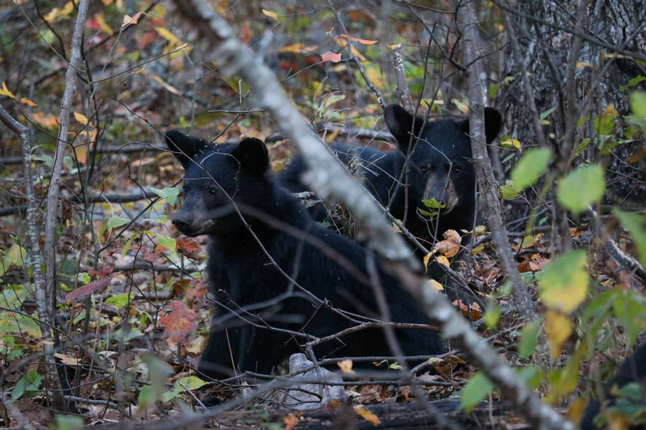 Black Bear Siblings