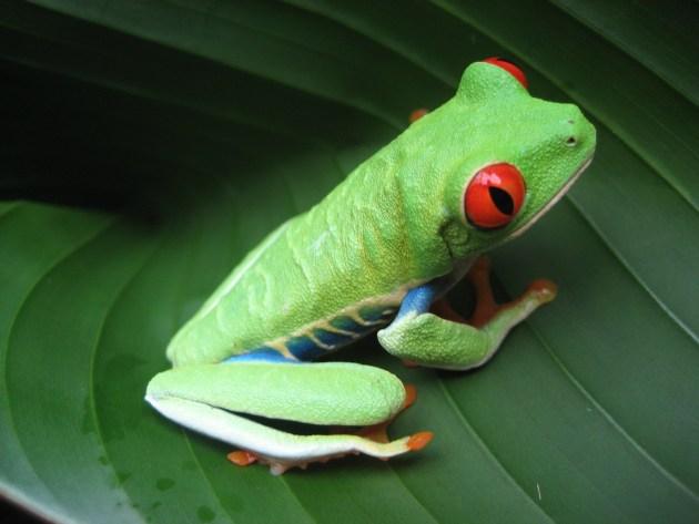 Costa Rican Frog