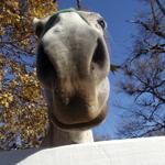 travel-slovenia-indigenous-horses