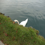 travel-slovenia-mute-swan-view