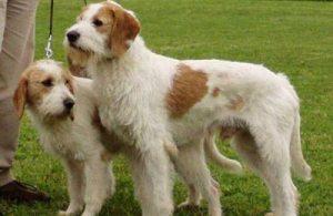 Sharply-haired Istrian hound