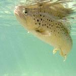 travel-slovenia-soca-trout1