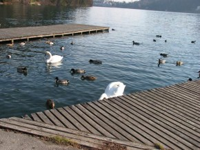 Swans and ducks at the rowing promenade