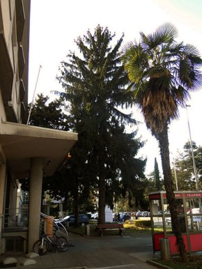 The Spruce in front of the Post office