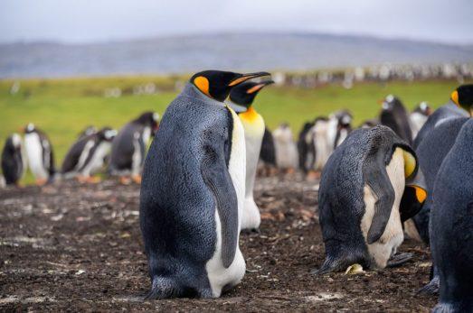 Bluff Cove Penguin Rookery King Penguin
