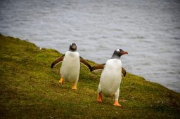 Gentoo Penguins in Bluff Cove, Port Stanley, Falkland Islands on our Cruise to South America