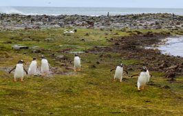 Cute Penguin Colony on our Cruise to South America