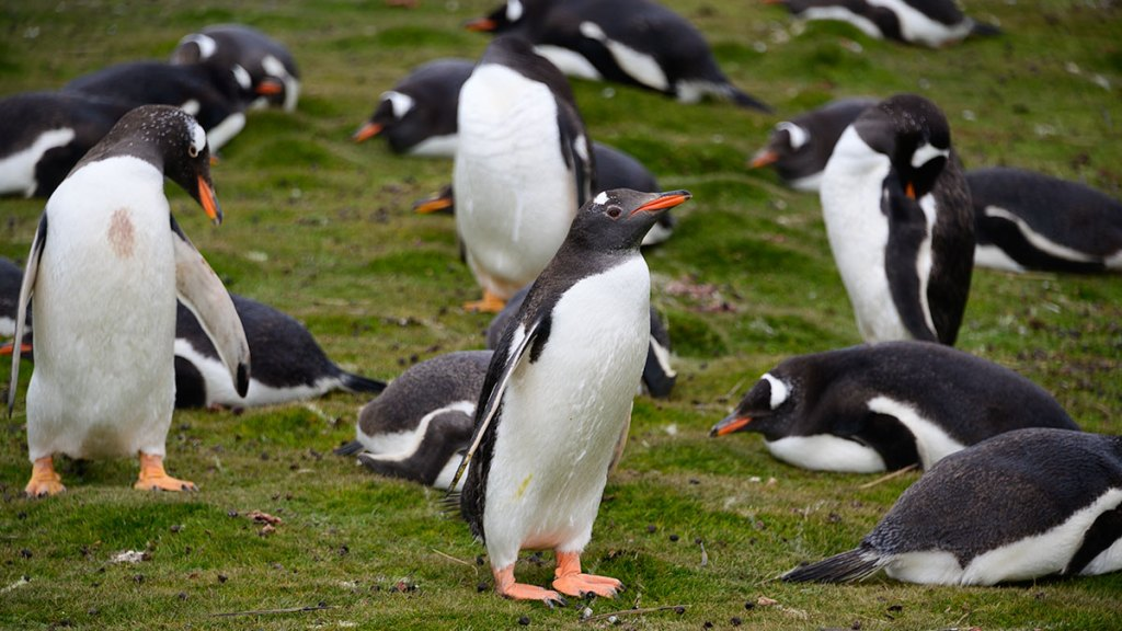 Gentoo-Penguin-Falkland-Islands