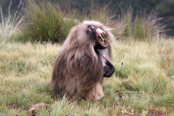 Gelada Yawn