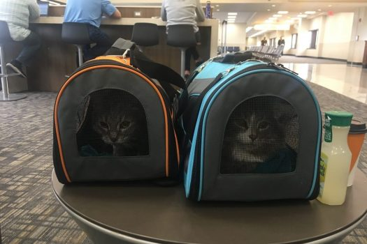 Flying with a Cat 101: Traveling with Pets on an Airplane