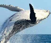 During the winter season, thousands of humpback whales migrate to Maui. // © Pacific Whale Foundation
