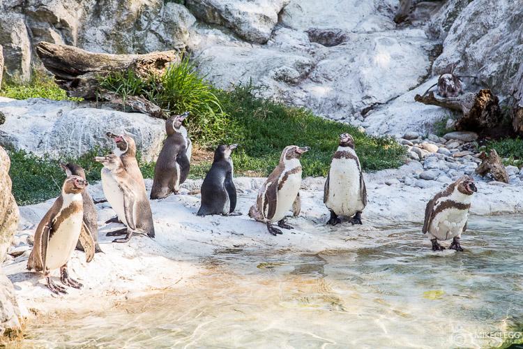 Pinguins no Zoológico de Viena - Tiergarten
