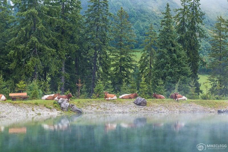 Vacas em Saalachtal, Áustria