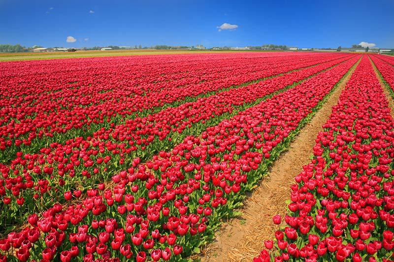Campos de tulipas na primavera da Holanda