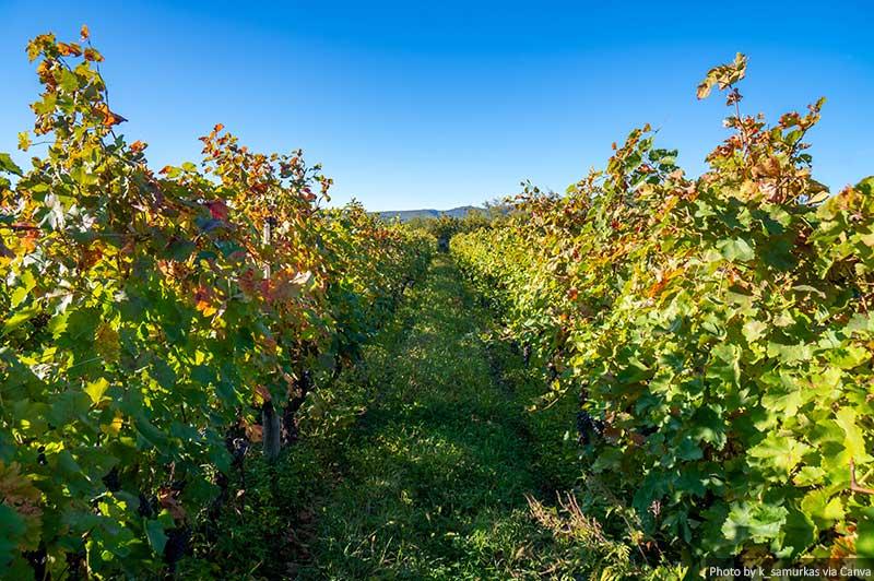 Vinhas da área vinícola da Geórgia Kakheti, vinhas de Telavi