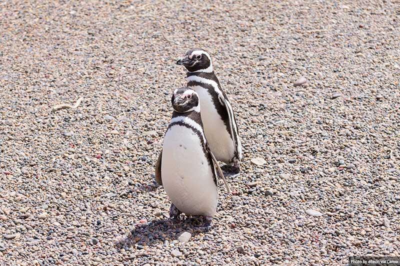 Pinguins de Magalhães, Punta Tombo