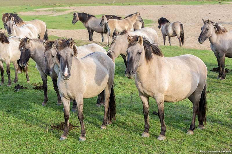 Cavalos em Oostvaardersplassen