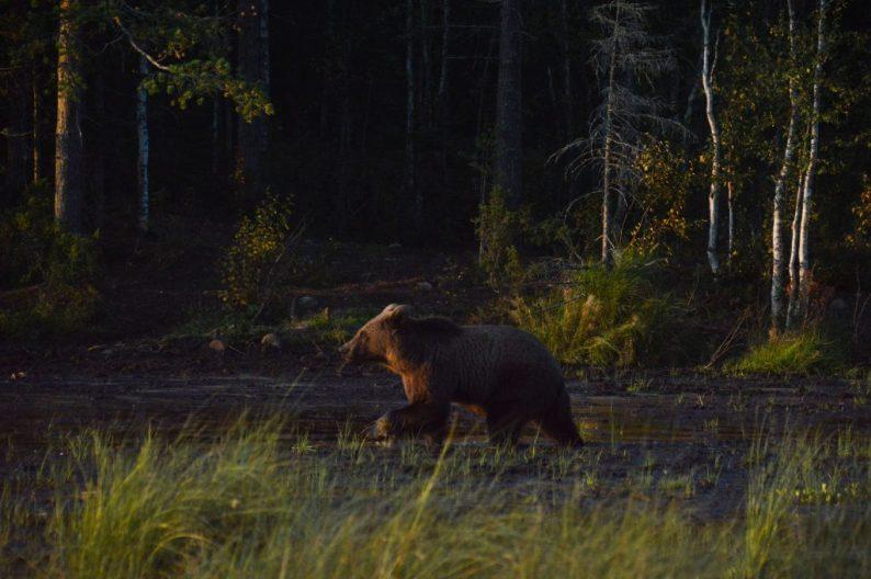 Bruine beren spotten Finland