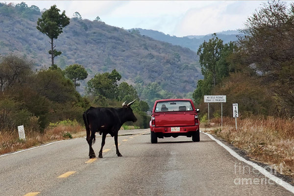 Don't Travel with a Red Car In Mexico- Bulls can be dangerous!