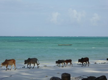 Our first (but not last) run-in with the beach cows
